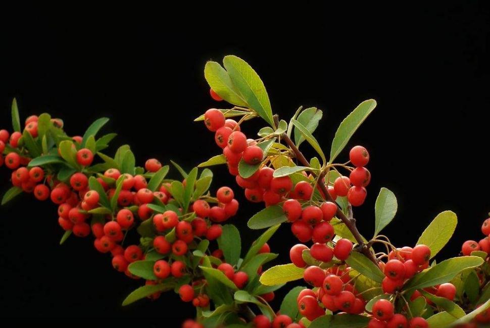 """比绿萝都好养的小盆栽,冬天照样结""""红果""""!"""