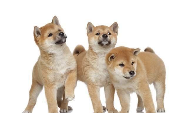 柴犬为什么比土狗贵?差别在哪儿?