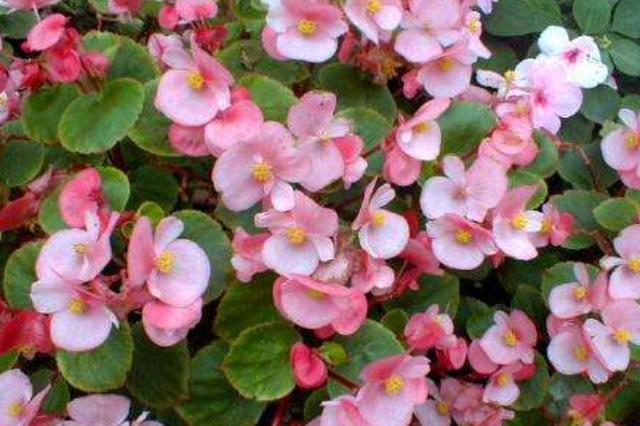 四季海棠这么养,全年开花不间断,花红叶绿,每次都爆盆!
