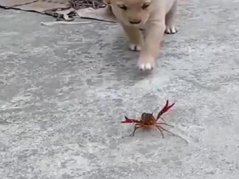 狗子作死挑衅小龙虾,小龙虾反手就给了一钳子