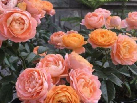 最受欢迎的4种花,家里养一盆,满屋飘香,养庭院,十里飘香