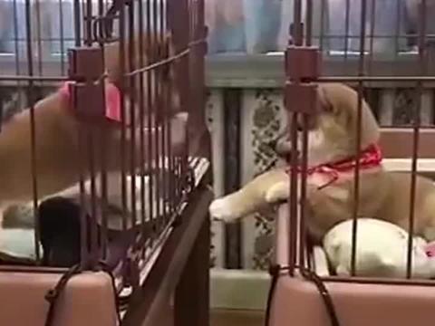 柴犬:这小柴也太可爱了,快把我放笼子里跟它玩!