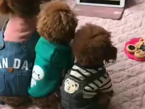 三只泰迪狗狗排排坐,一起看动画片