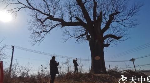 驻马店确山竹沟:一棵千年的黄连木,看看长啥样?