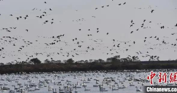 """湖北龙感湖自然保护区迎小天鹅越冬 呈现""""天鹅湖""""景观"""