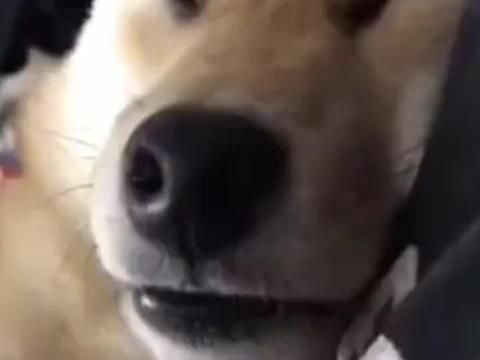 柴犬:什么都妨碍不了我睡觉,我告诉你狗子可以睡多熟