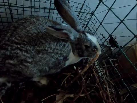 家养的兔子快下小兔了,小侯把它逮到暖气房内,就等着母兔待产了