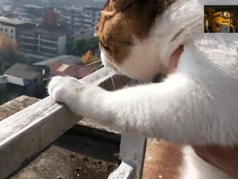 猫咪楼顶看风景,猛回头发现主人没有在身后扶着,这表情太逗了!