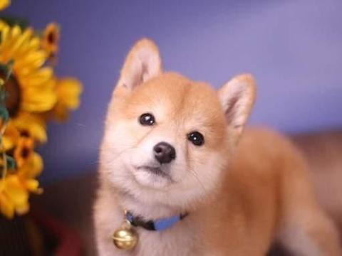 柴犬性格分析:你能和柴犬合得来吗?