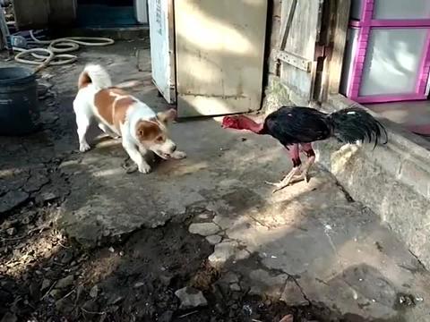 脱毛鸡是来找狗狗打架的吧