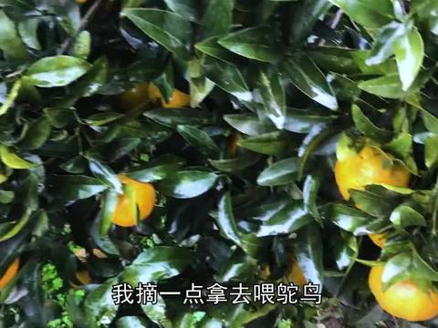 阿蛮去朋友家做客吃泡锅饭,摘柑橘去喂鸵鸟
