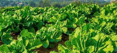 当八月份来临时,哪些蔬菜可以播种和种植?让我们安排一下