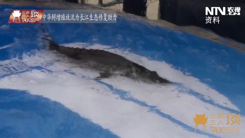 """三农三人谈:长江里的""""大熊猫"""" 现在还好吗?"""