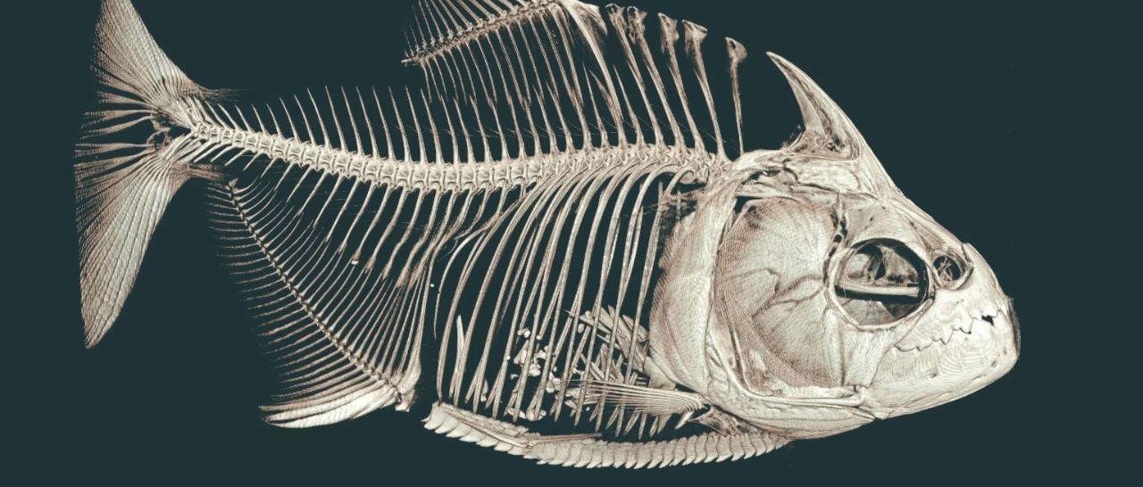 食人鱼的牙和鲨鱼比谁更厉害?