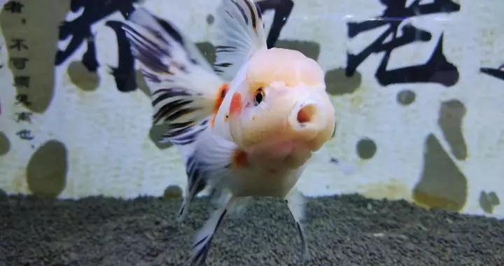 观赏鱼不停在水里顶着水流游动,它们会被累死吗?真有这种可能性