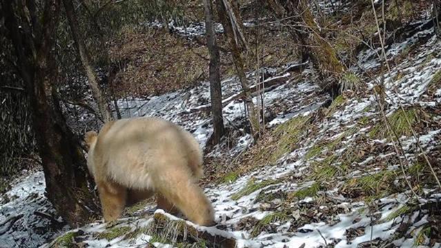 """全球唯一一只白色大熊猫四肢毛发变金白色 已离开妈妈""""自立门户"""""""