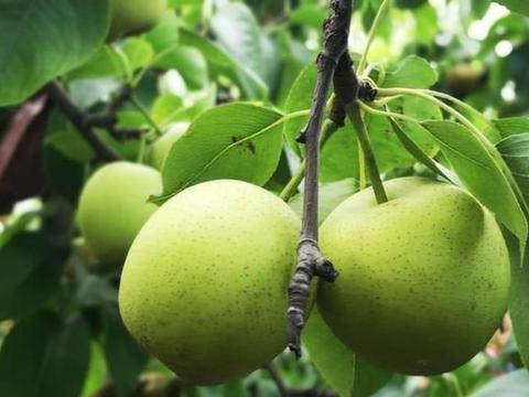 梨锈水病是一种新的枝干病害,识别症状,及时用药防治