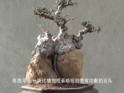 1棵植物小苗和1块石头,制作出古朴雅致的抱石盆景,有创意