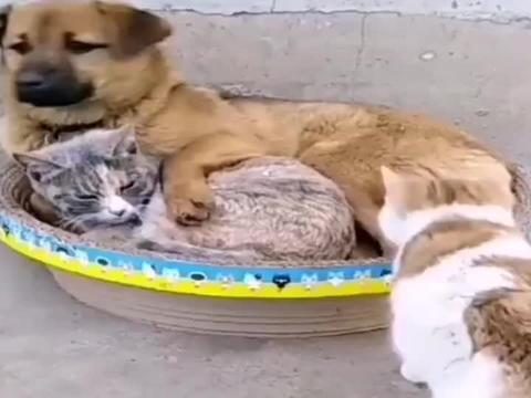 猫咪:让你们看看什么叫做猫狗一家亲