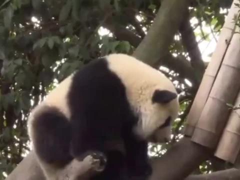 熊猫绩笑:憨憨又胖了,这大脸盘子
