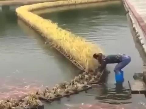 农村人简直太聪明了,鱼塘里还能种稻谷,简直是两全其美啊!