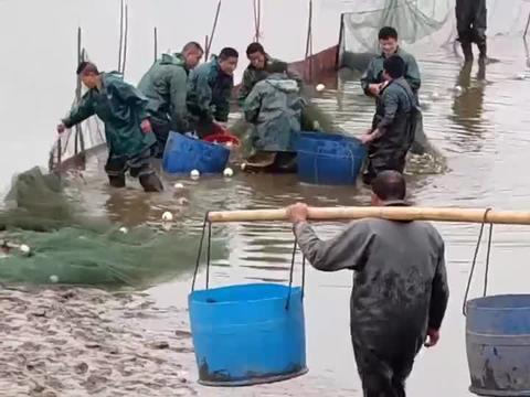 3年来鱼塘首次放水抓鱼,150亩1网下去就10000多斤,这也太过瘾了