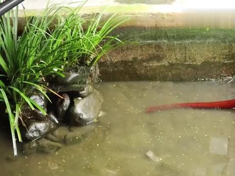鱼塘放了半年野钓的红尾鳜鱼没管过,今天清塘看看人都傻了