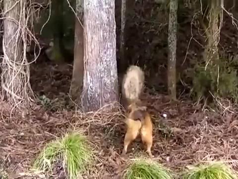猎狗战野猪,狗子这战有点东西