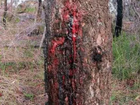 男子用刀砍树时,流血不止,商人愿花100万求购