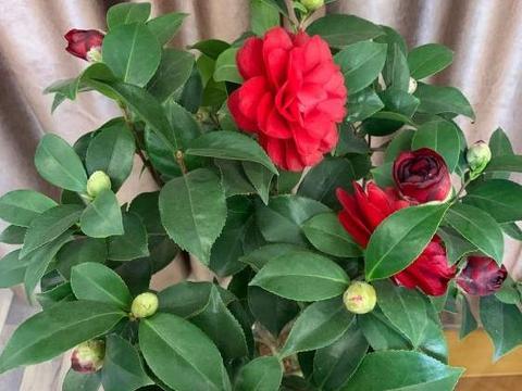 本是茶花生长旺季,为何自家盆栽却一直不长新枝叶?