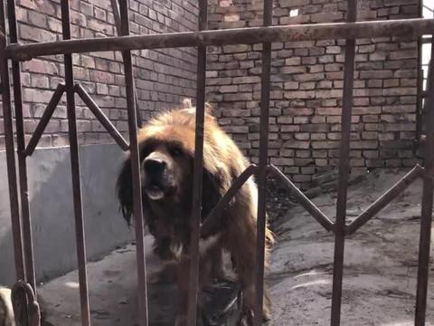 这只藏獒主人一直没舍得卖,它是纯种原生态狮头獒,大家来欣赏下