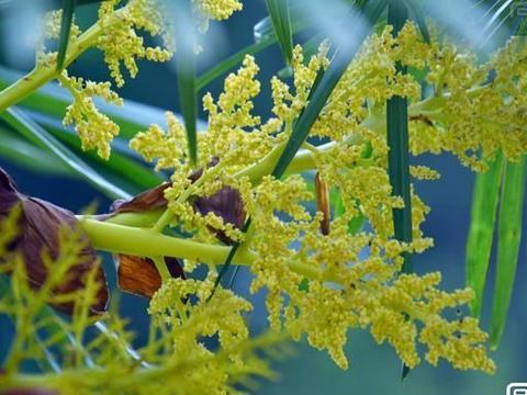 南方乡村的棕树,别致的棕包花独特迷人的景色,浑身都是宝的植物