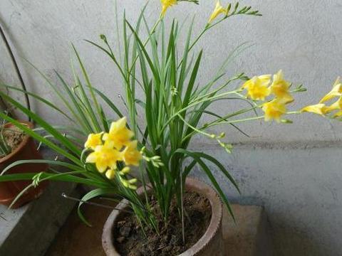 家居养花:甭乱用硫酸亚铁,不然要付出黄叶烧根的代价