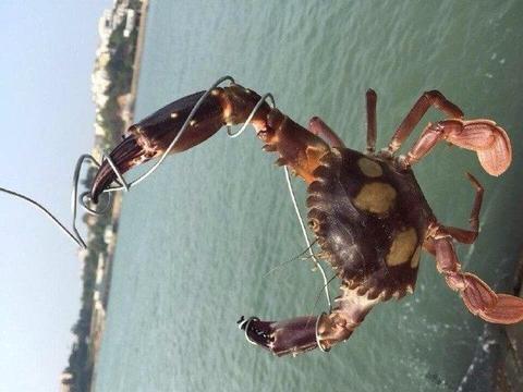 男子抓到一螃蟹,拿出手机来试试蟹钳的力量,结果悲剧了!