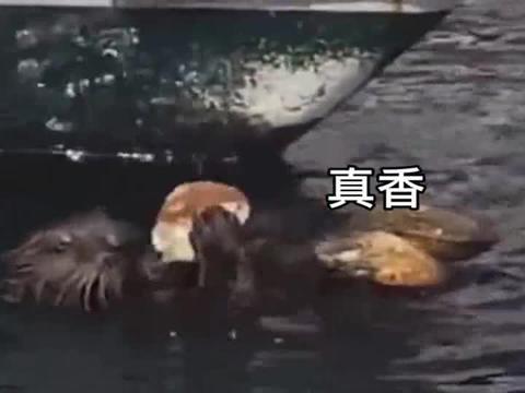 海獭有什么坏心眼,它只是想吃鲍鱼而已。