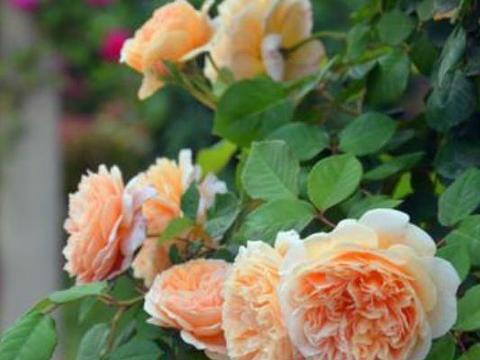 颜值超高的几款花卉,叶片油绿,花苞大又多,花色艳丽
