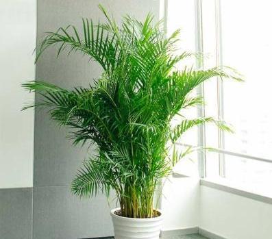 家中养盆散尾葵,既美观又好养,注意3点,枝叶繁茂,四季油绿