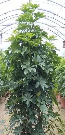 鸭掌木怎么才能多发芽?