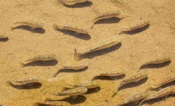 尤其是顽强的沙漠鱼,生存在沙漠中年后,现在只有37条即将灭绝