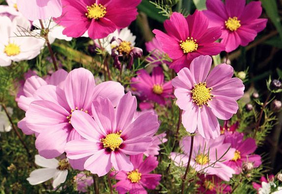 养此款花卉,株型优美、花朵大,花型别致可爱