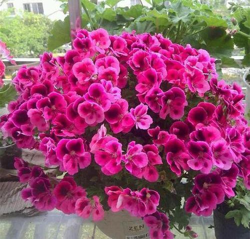 家里养天竺葵,教你3个技巧,长侧芽冒新叶,开出层叠群花!