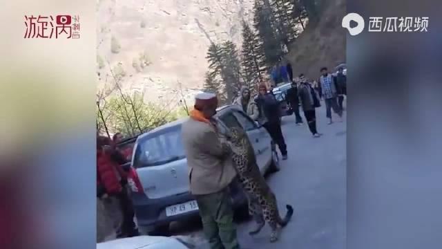 司机路遇野生花豹纷纷下车拍照,花豹一点不认生,还会跟人互动