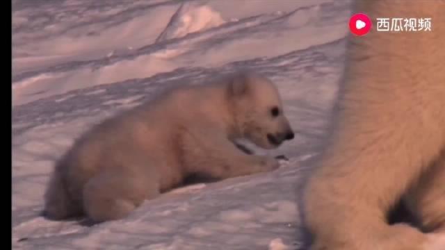北极熊妈妈带着3个幼崽出发捕猎……