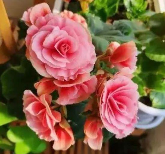 养花就养个花期长的,花大色艳,花朵姿态万千,美
