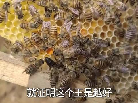 怎么判断新王和产卵的的好坏,两者方法都不同,养蜂师傅来教你