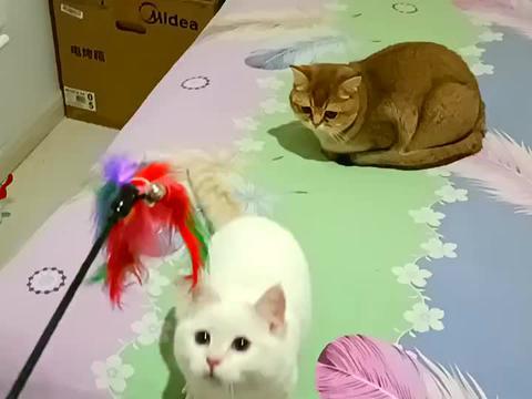 宠物猫长得帅是帅,可太懒了,玩游戏被田园猫秒杀,你家养的啥猫