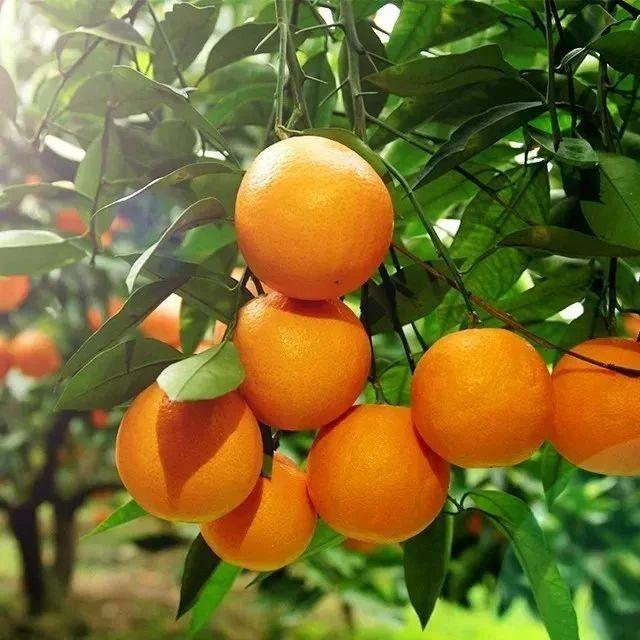 """有机转换认证,国家地标产品—罗甸血橙来咯,有颜有料的""""贵族橙"""",每口都是营养VC!"""