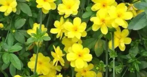 迎春第一花,学会这几招,色彩鲜艳花期长