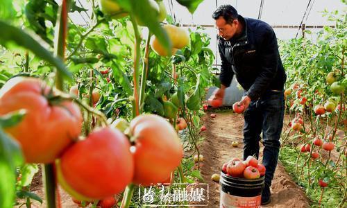 洛阳这个村百余个日光温室蔬菜大棚,种植多种新鲜果蔬,带动群众增收致富!