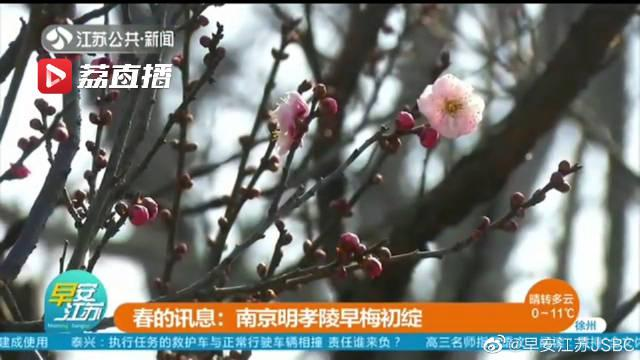 春的讯息:南京明孝陵早梅初绽